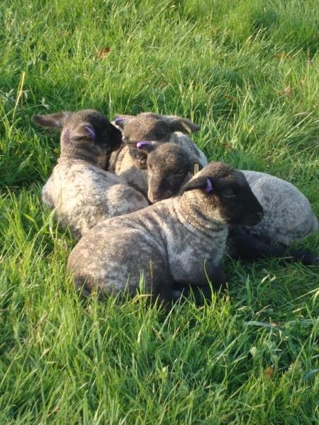spring-lambs