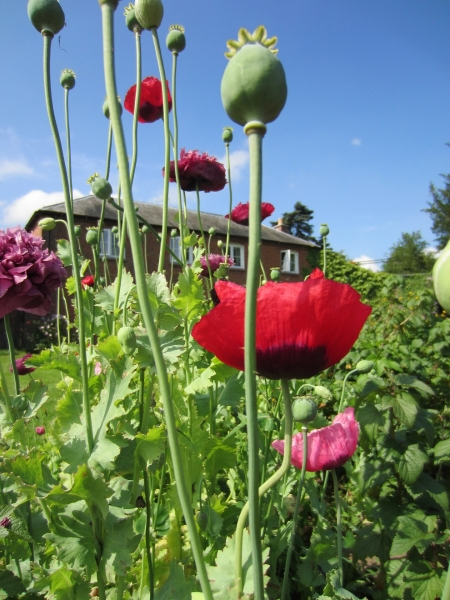 poppies-in-the-walled-garden-2