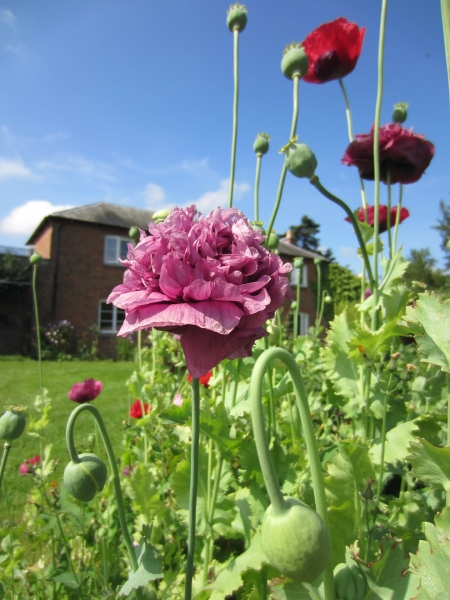 poppies-in-the-walled-garden-3