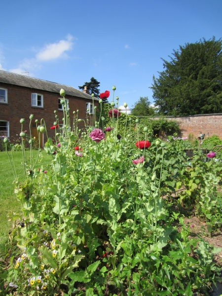 poppies-in-the-walled-garden