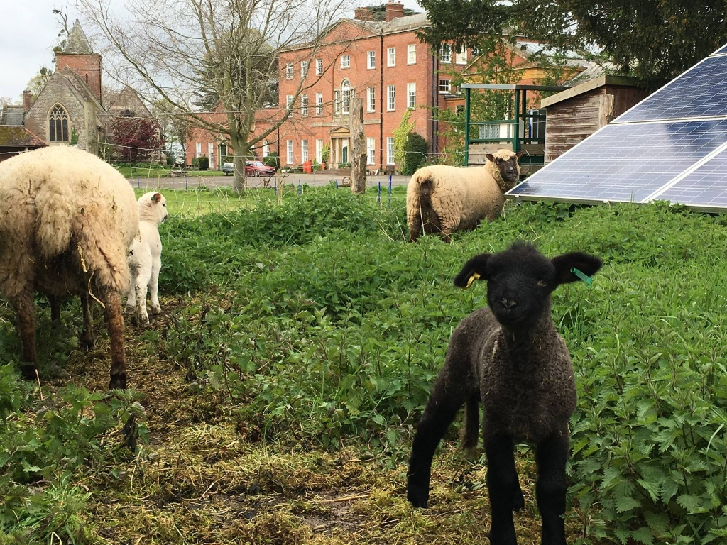 new lambs.jpg