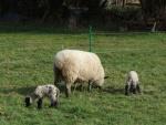 Lambs 2006 003.jpg