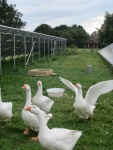 geese in the pv.JPG